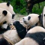 野生パンダを顔認証で識別するアプリ、中国で開発