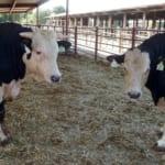家畜の遺伝子編集、前途有望な技術に大きな落とし穴