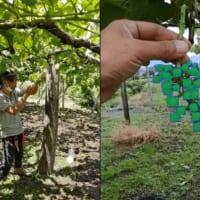 「ぶどうの粒いくつある?」を自動判定するAI来夏実用化へ〜山梨大学と農業生産法人が共同開発