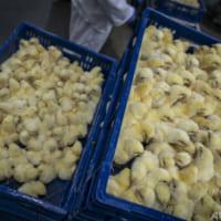 「培養鶏肉」シンガポールで販売へ 世界初