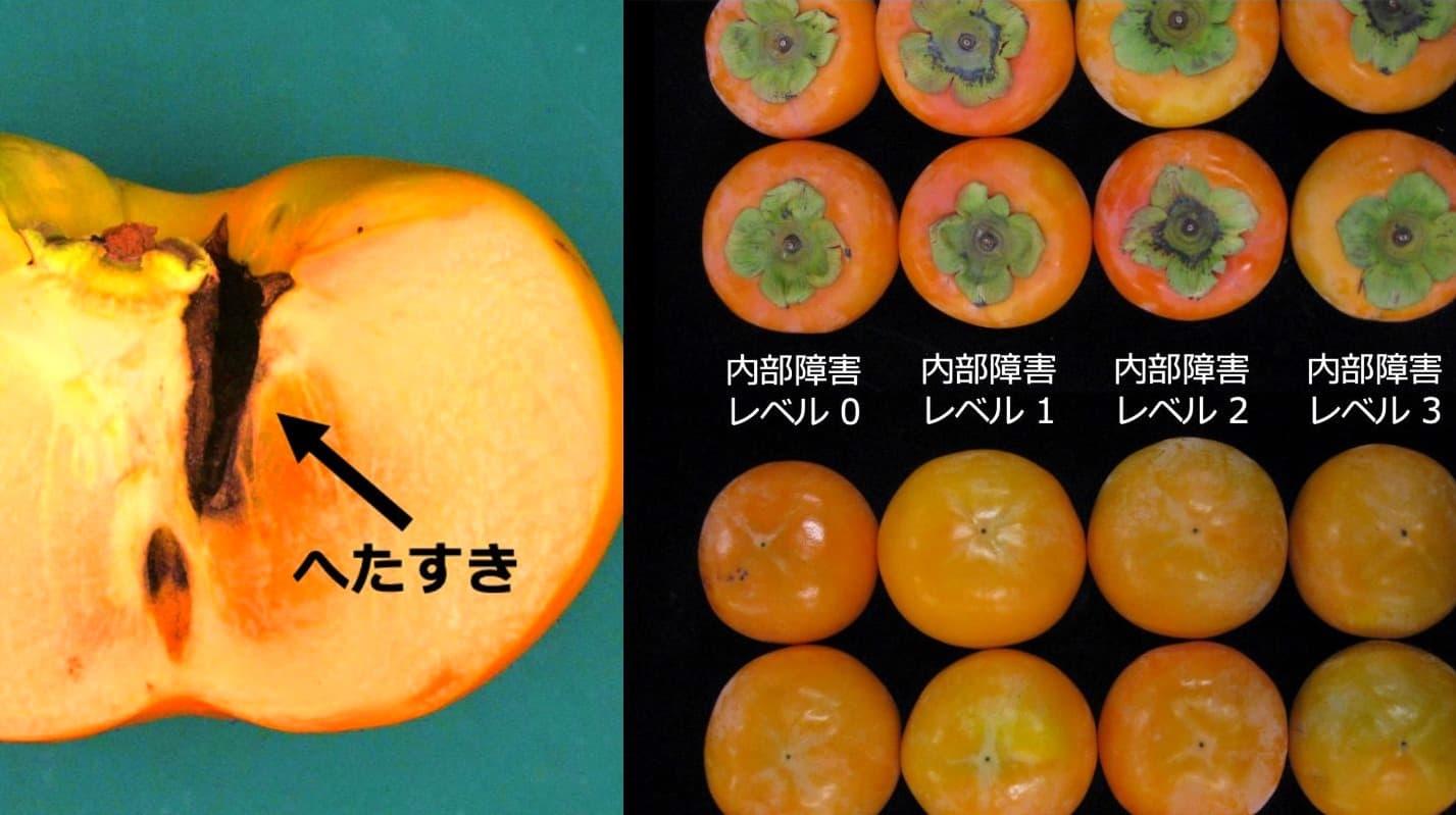 柿の商品価値を損なう「へたすき」の有無を判定する「柿の内部障害を見抜くAI」