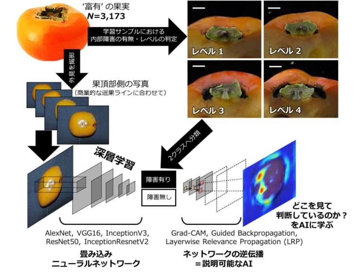 「柿の内部障害を見抜くAI」の全体イメージ