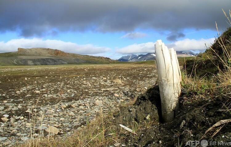 シベリア北東部ウランゲリ島の永久凍土層から現れたケナガマンモスの牙。英科学誌ネイチャー提供(2021年2月17日提供)。(c)AFP PHOTO :LOVE DALEN