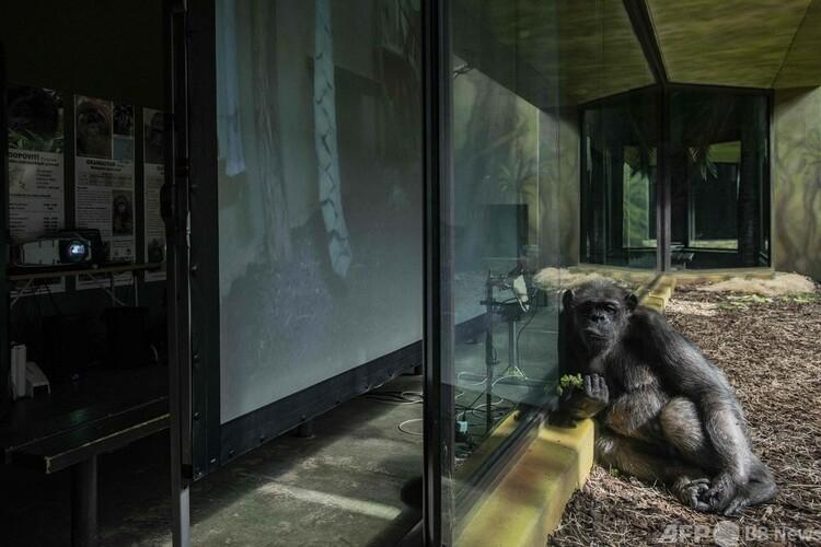 チェコのドブールクラーロベ動物園で、ブルノ動物園のチンパンジーの姿を映し出せるスクリーンの前にいるチンパンジー(2021年3月26日撮影)。(c)Michal Cizek : AFP